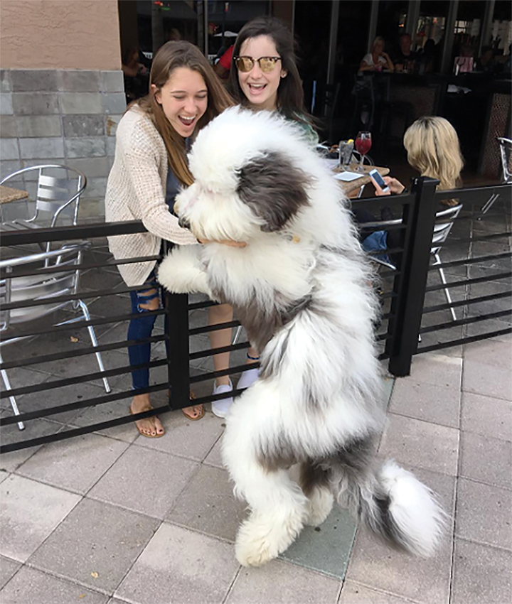 Viral Content More Than Just Number Of Views: Shazzam! A Pic Of Zammy The Sheepadoodle Goes Viral